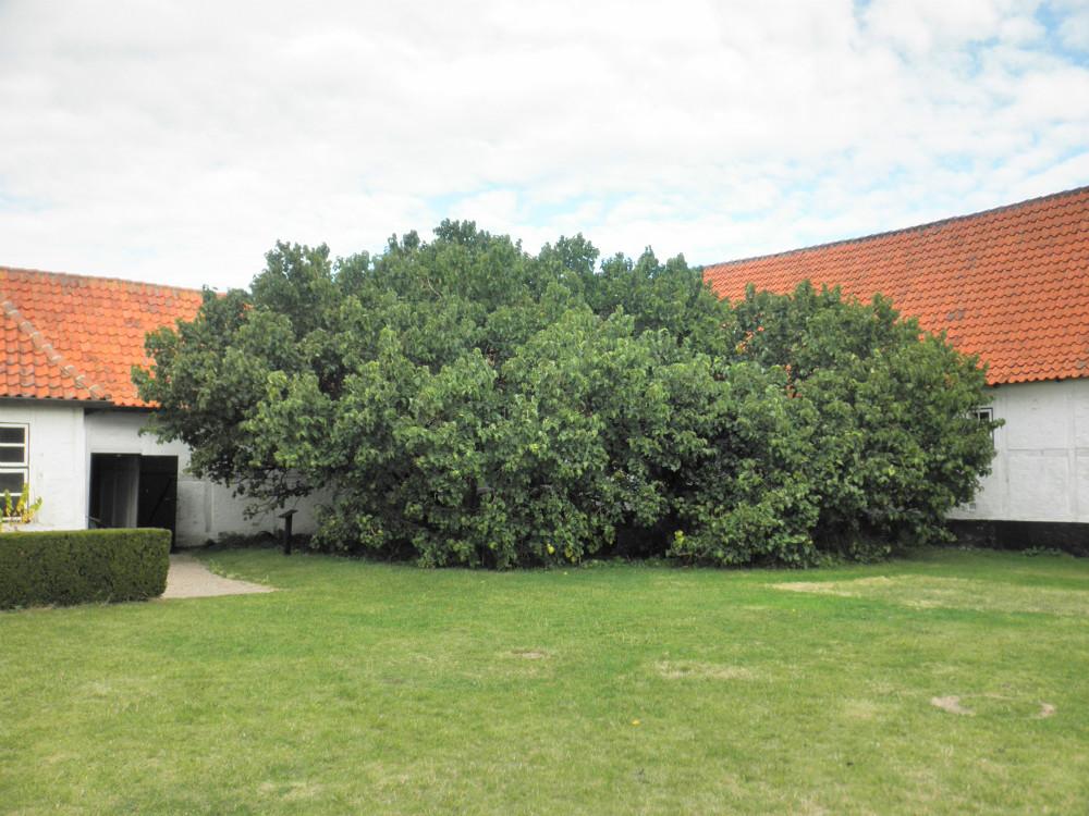 Evighedstræ nr. 1