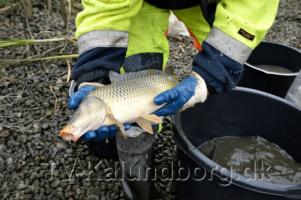 Rigtigt mange fisk måtte flyttes til en anden sø. Foto: Jens Nielsen