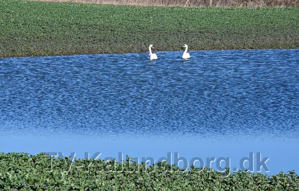 Mellem Tømmerup og Kærby svømmer hr. og fru svane rundt på en af de søer der er opstået på marken grundet den store nedbørsmængde. Foto: Jens Nielsen