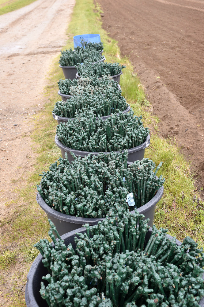 Vinplanter klar til at blive plantet. Foto Jens Nielsen