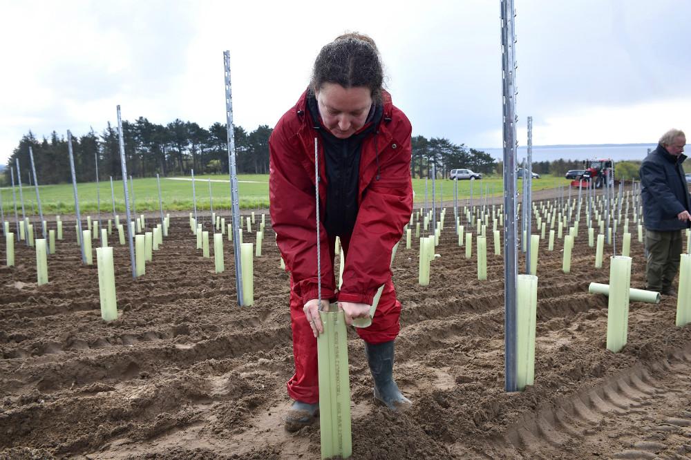 Hver af de 12.000 planter beskyttes af et lille vækstrør som gir planten et godt liv og som rådyrerne ikke kan nå. Foto Jens Nielsen