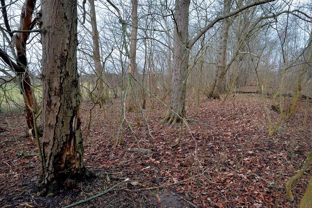 Der er sygdom i de gamle kastanjetræer. Foto: Jens Nielsen