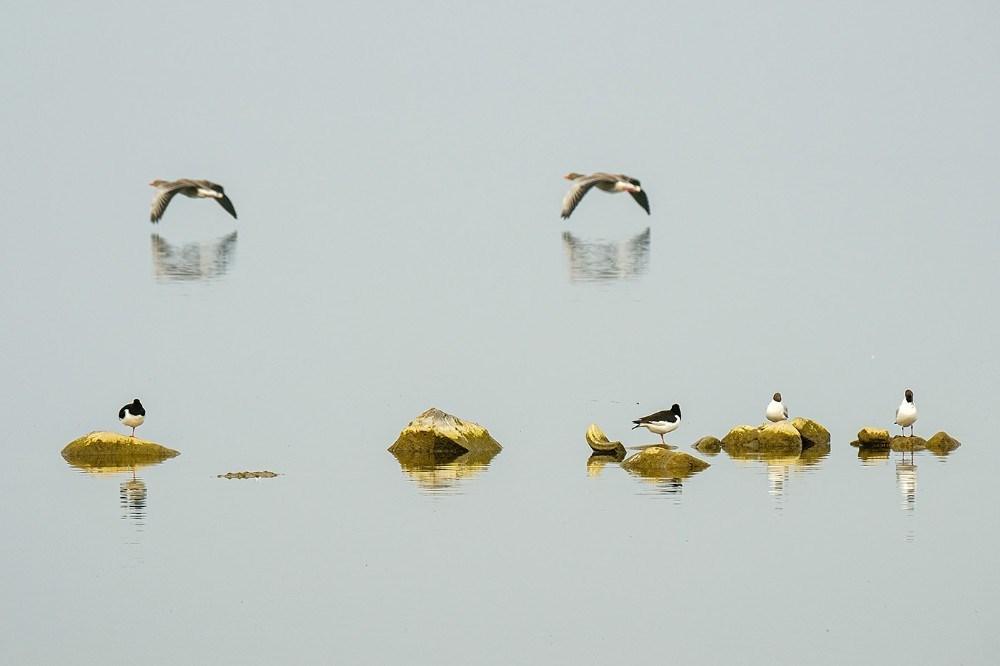 Fugle i par ved Tissø- strandskader - hættemåger og grågæs. Foto: Ole Agerbæk