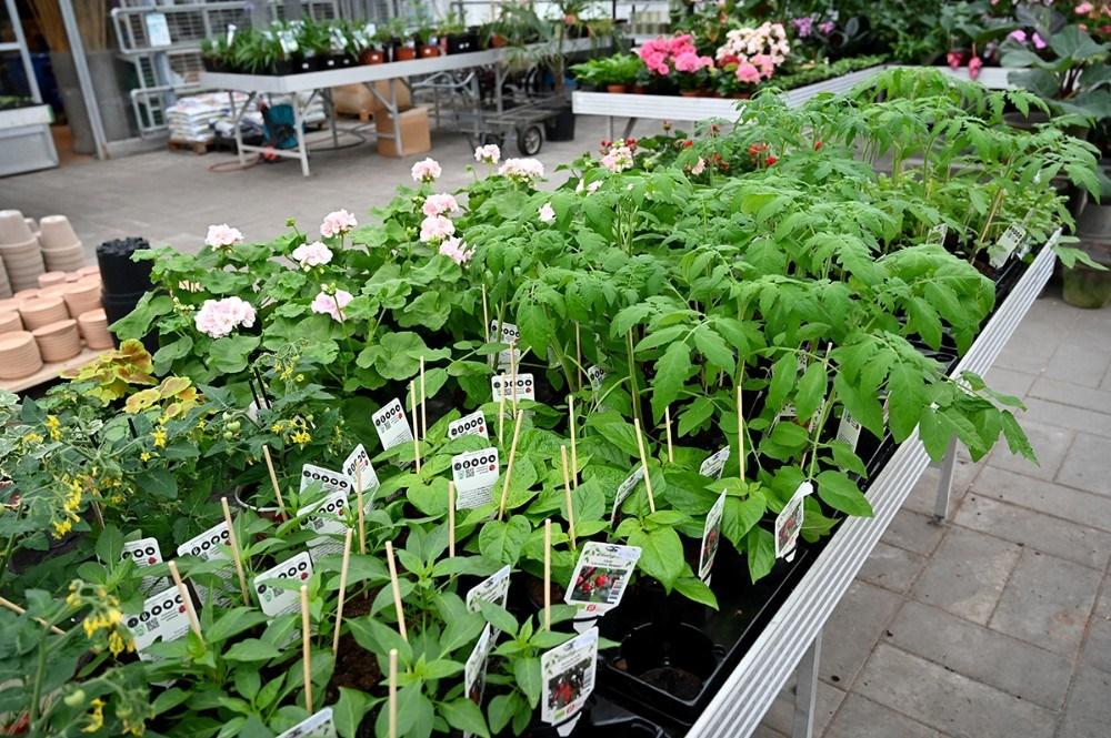 Masser af tomatplanter. Foto: Jens Nielsen