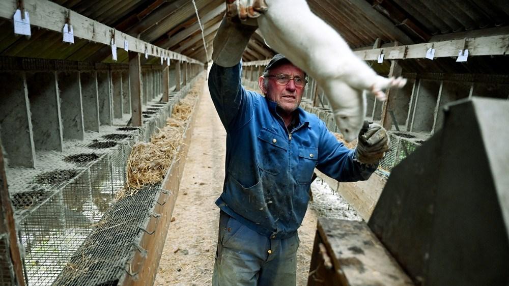 Flemming Møller har haft mink siden 1964, nu har myndighederne besluttet at alle mink i hele landet skal aflives. Foto: Jens Nielsen