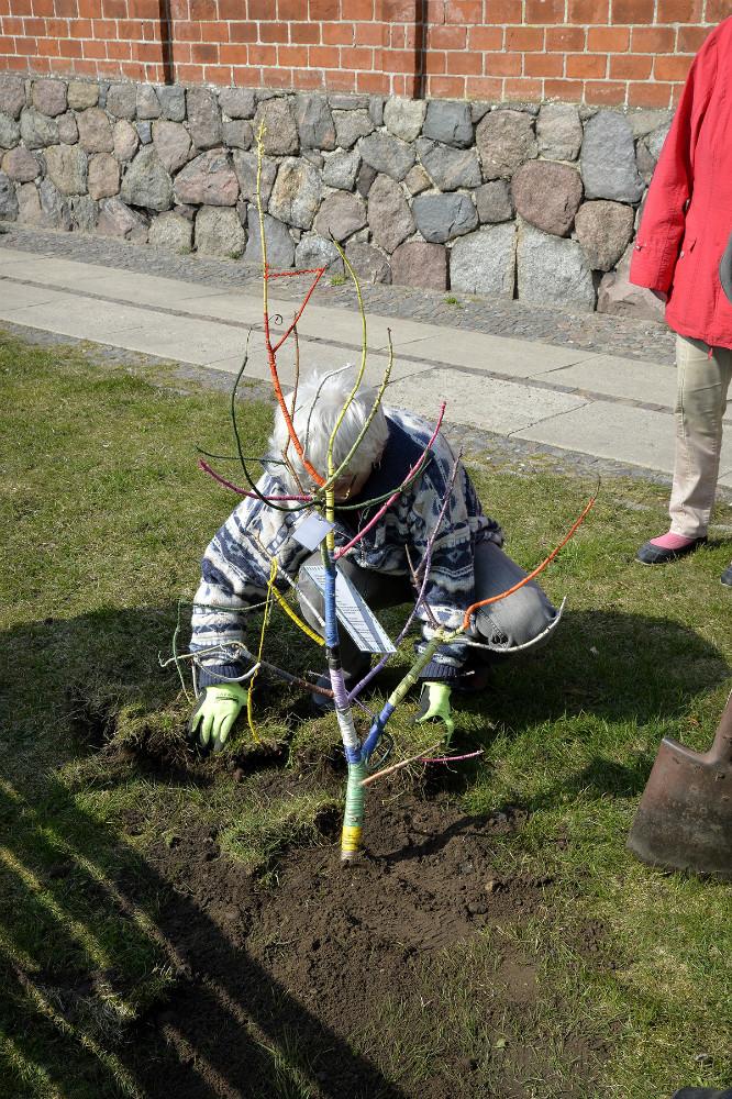 Beboerne i Bag Slotsgraven i Kalundborg plantede et træ i protest mod Kalundborg Kommune. Foto: Jens Nielsen