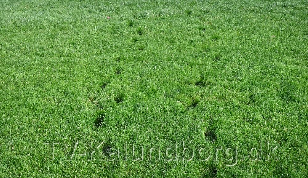 Der bliver store mærker når man bevæger sig hen over græsset, så blødt er der. Foto: Jens Nielsen