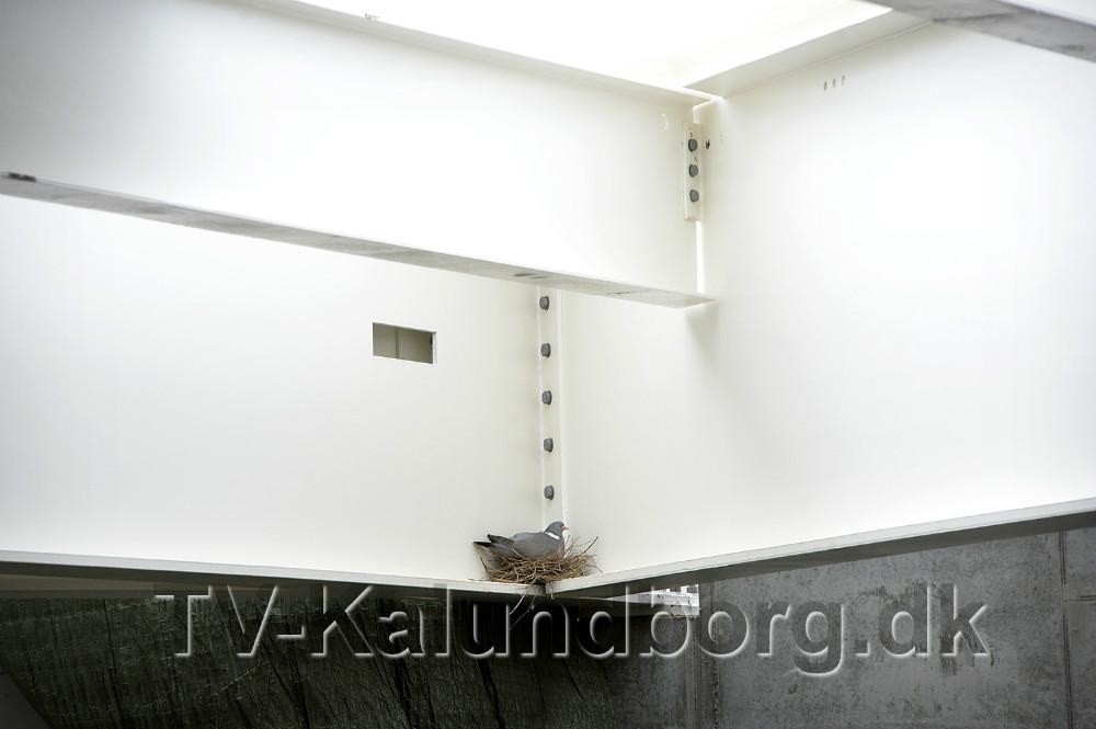 En due er allerede flyttet ind i Spiralen og har bygget rede helt oppe under loftet. Foto Jens Nielsen