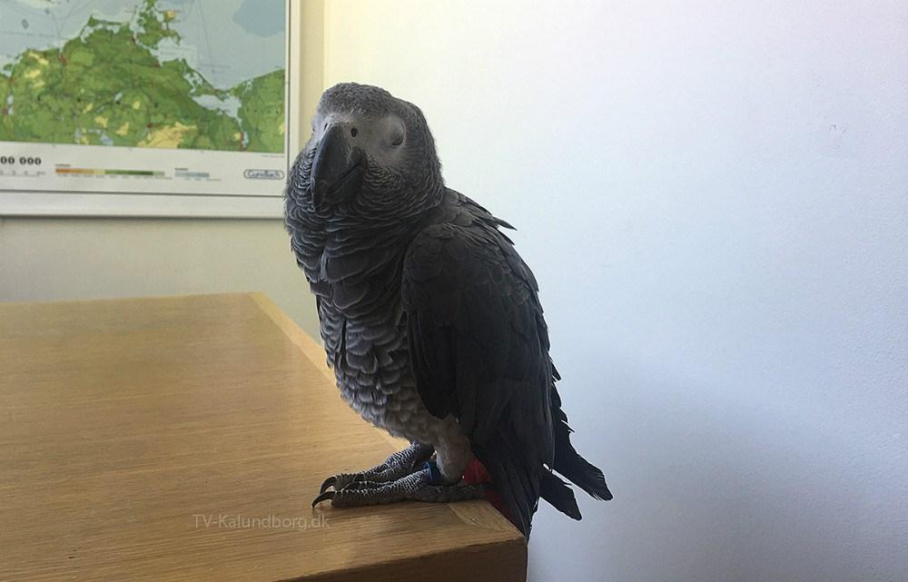 Papegøjen Jakob, der var en tur forbi Rynkevangskolens kontor. Privatfoto.