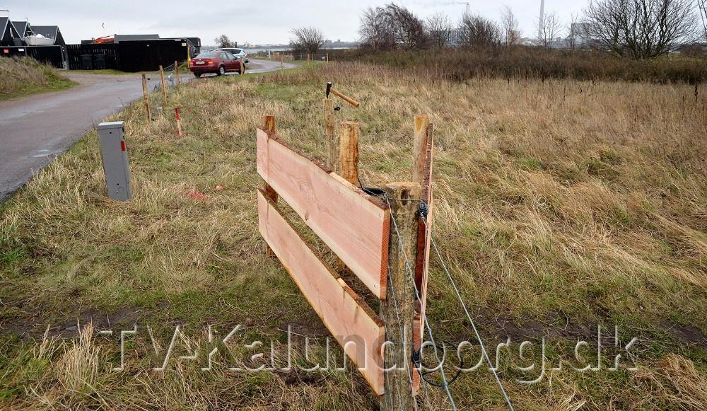 Det yderste af Gisseløretangen er ved at blive hegnet ind og inden længe sættes derGalloway kvæg ud på området. Foto: Jens Nielsen