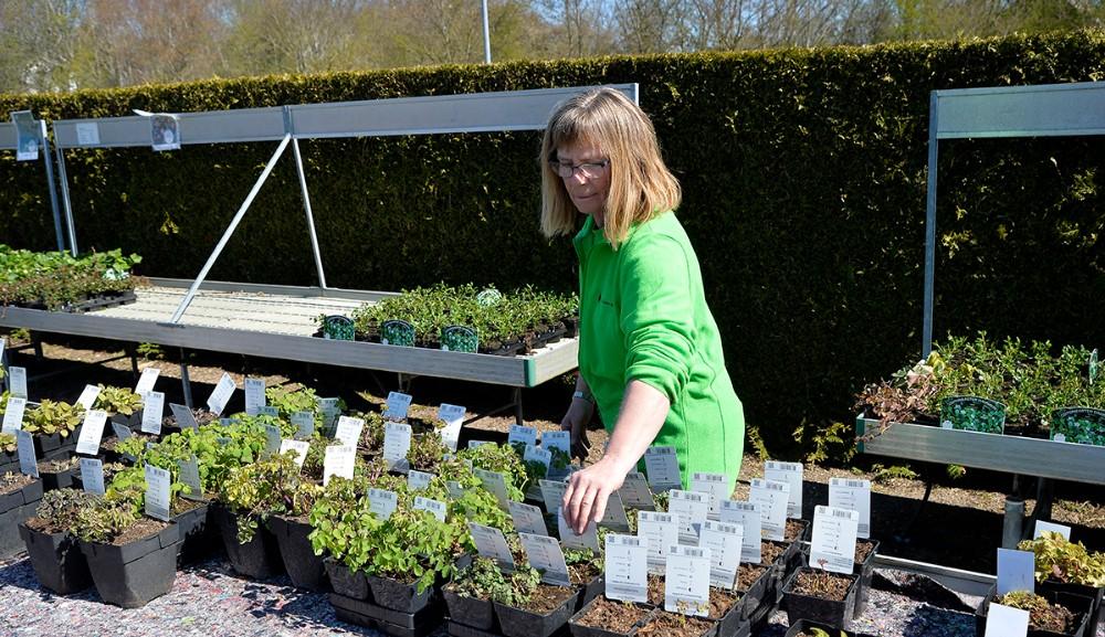 Joan Bjerborg igang med stauderne. Foto: Jens Nielsen
