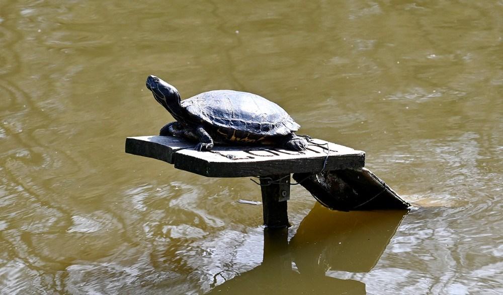 Skildpadden er skam levende. Foto: Jens Nielsen