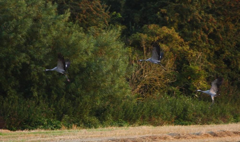 Tre Traner i Tranemosen tidlig onsdag morgen. Foto: Per Huniche
