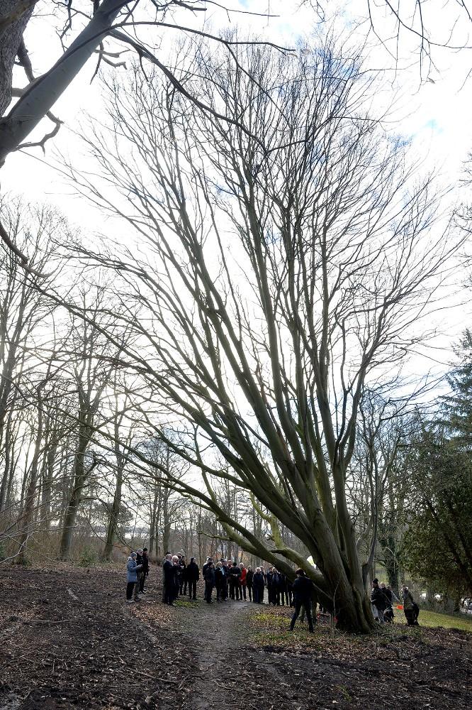 Den godt 100 år gamle Avnbøg på Møllebakken blev fredag eftermiddag kåret som Evighedstræ Foto: Jens Nielsen