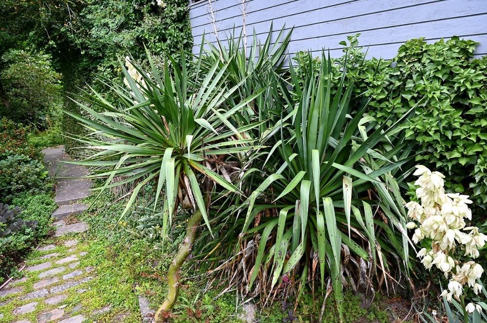 En helt særlig Yucca palme gror i Mogens Madsens have. Foto: Jens Nielsen