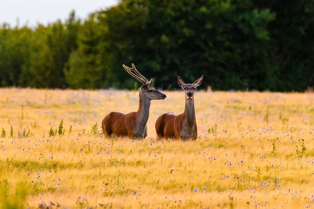 Kronhjort. Foto: Ole Agerbæk