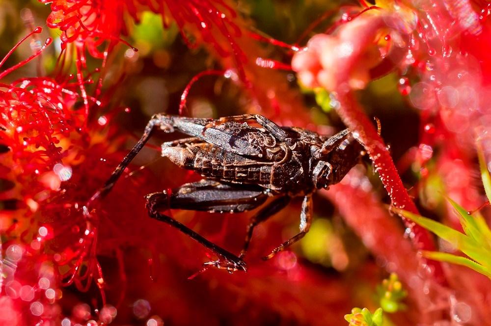 Rundebladet Soldug med græshoppe. Foto: Ole Agerbæk