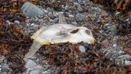 Ole Agerbæk fandt en død klumpfisk ved Røsnæs den 24. dec. 2018. Foto:Ole Agerbæk.