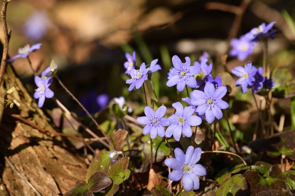 Blå anemone Vindekilde. Foto: Ole Agerbæk