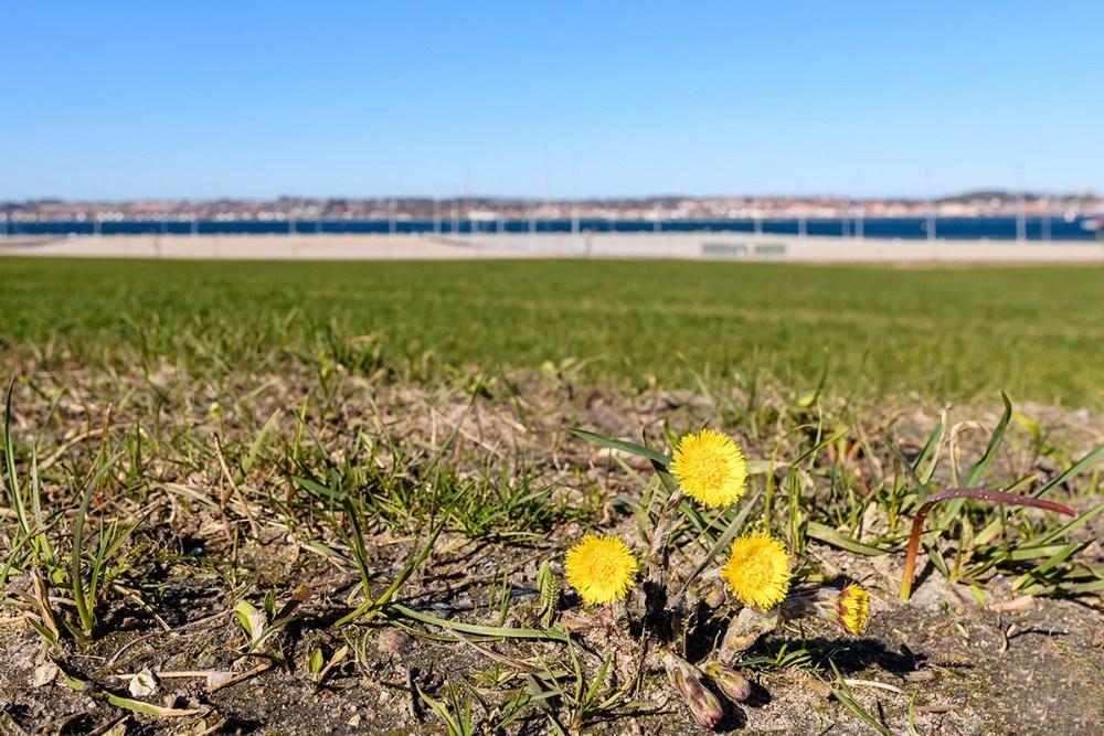 en blanding af martsvioler- vorterod - hvide og gule anemoner Snevrisskoven. Foto: Ole Agerbæk