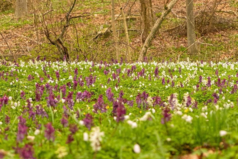 hvide anemoner og hulrodet lærkespore  Klinteskoven. Foto: Ole Agerbæk
