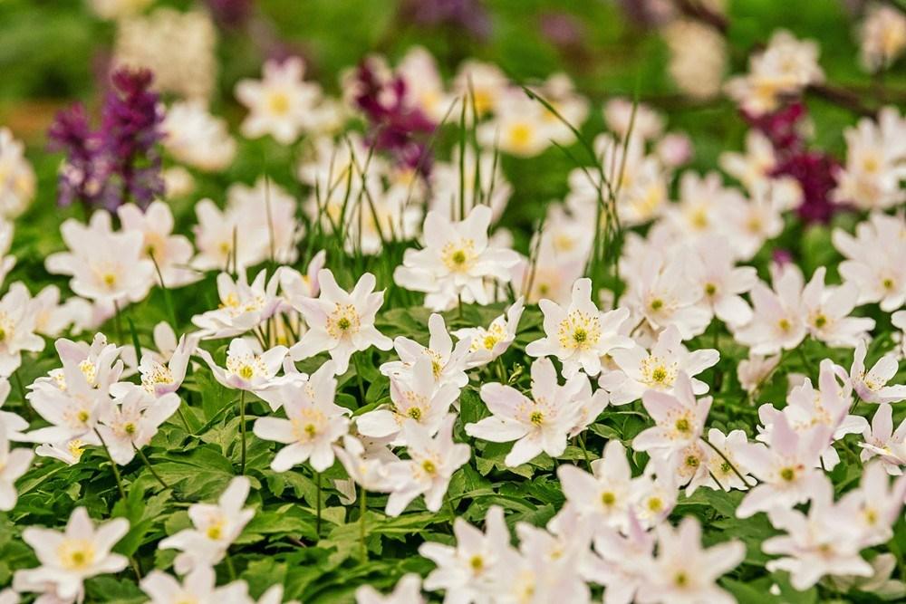 hvide anemoner og hulrodetlærkespore. Foto: Ole Agerbæk