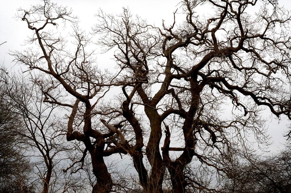 Det er bl.a. de gamle egetræer som kan opleves. Foto: Jens Nielsen