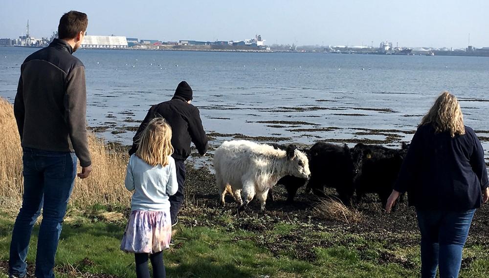 Køerne på Gisseløre er sluppet ud af deres indhegning. Foto: Lene Haugaard